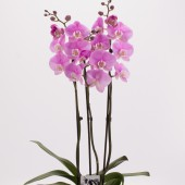 Pink Phalaenopsis Orchid Planter