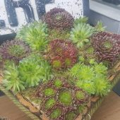Sempervivum Planter