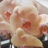 Limited Edition Caramel Phalaenopsis Orchid Plant