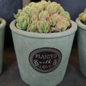 Kalanchoe in Terracotta Pot