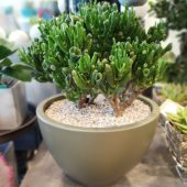 Crassula Planter